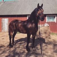 Tore hobune harrastajale