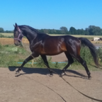 Big warmblood with show jumping/ eventing pedigree