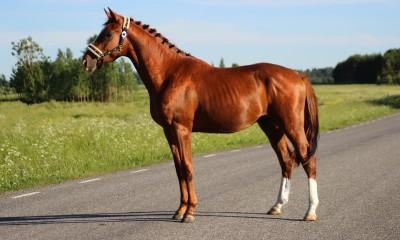 2.aastane koolisõidu täkk / 2 years old dressage stallion