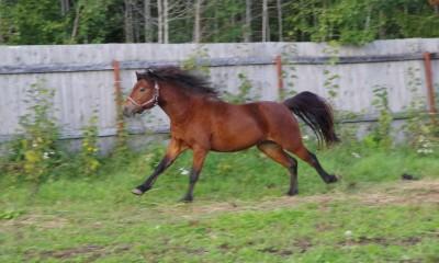 Dartmoori poni